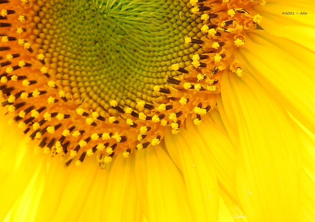 Part of a Large Sunflower ~ Close Up