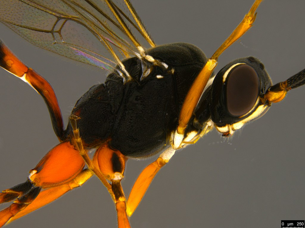 13b - Ichneumonidae sp.