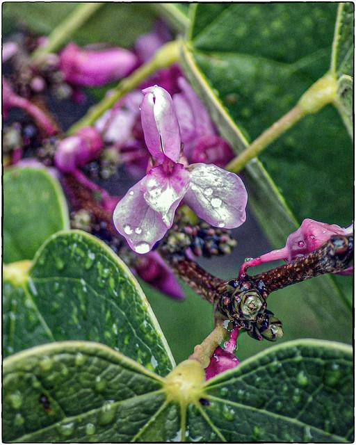 Wet Redbud Bloom #3