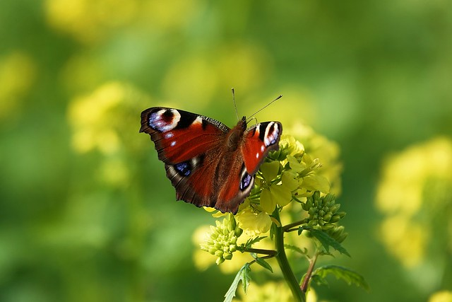 peacock butterfly on rapeseed