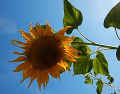 back-lit Sunflower against a blue sky