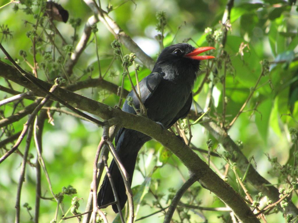 Black-fronted Nunbird Monasa nigrifrons - Reserva ProAves El Jaguar - Foto: Leonel Silva