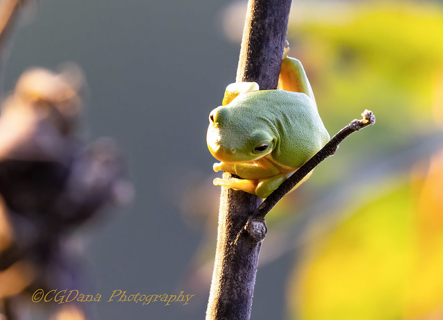 Little tree frog (Hyla cinerea)