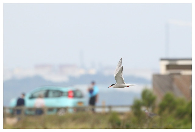 Common Tern at Titchfield Haven