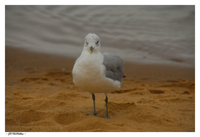 Staring Sea Gull in the Sand on the Shore