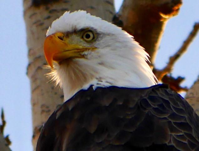 I got a Bald Eagle!