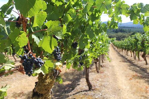 Oregon State's Woodhall Vineyard
