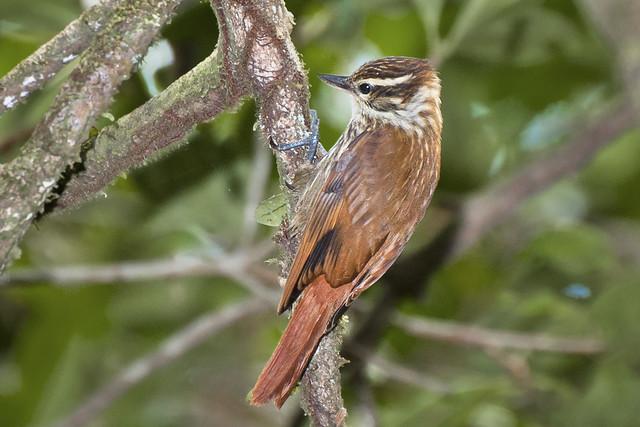 Bico-virado-carijó (Xenops rutilans rutilans)