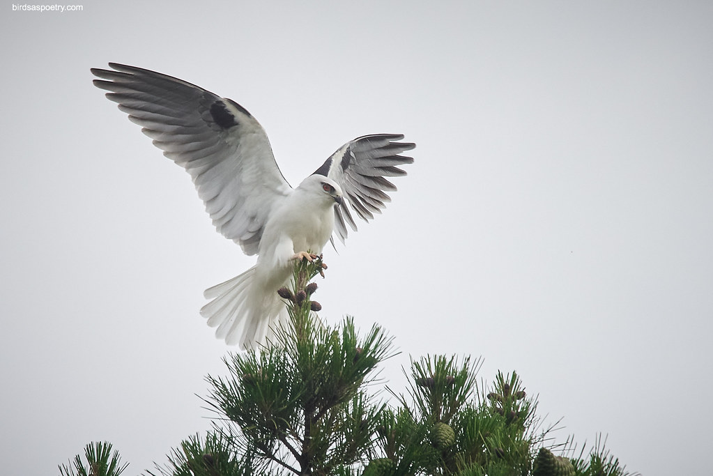 Black-shouldered Kite: On top of the very Tip Top