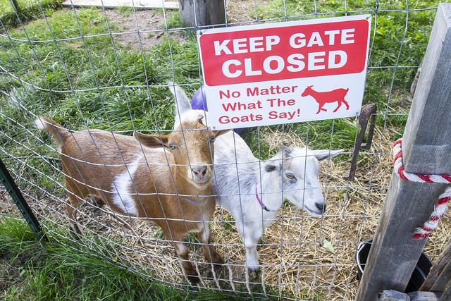 Goats: Tom and Hops at Porcupine Farm
