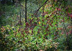 Autumn Crabapple