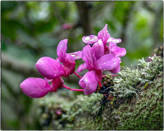 Wet Redbud Tree Bloom