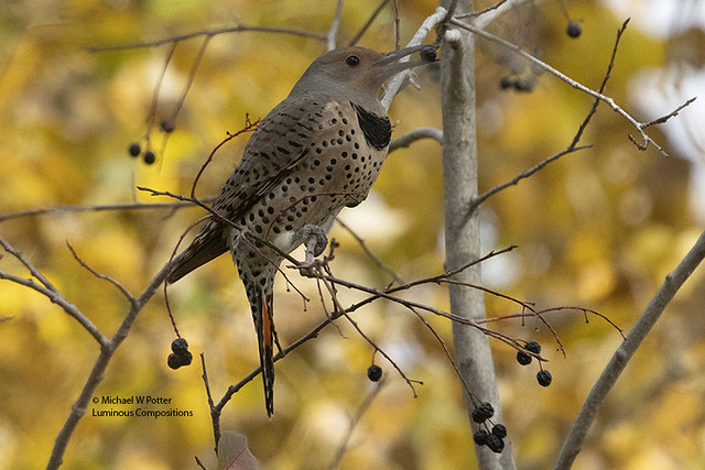 Northern Flicker with berry, fall colours