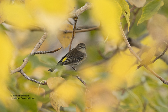 Yellow-rumped Warbler, fall colours