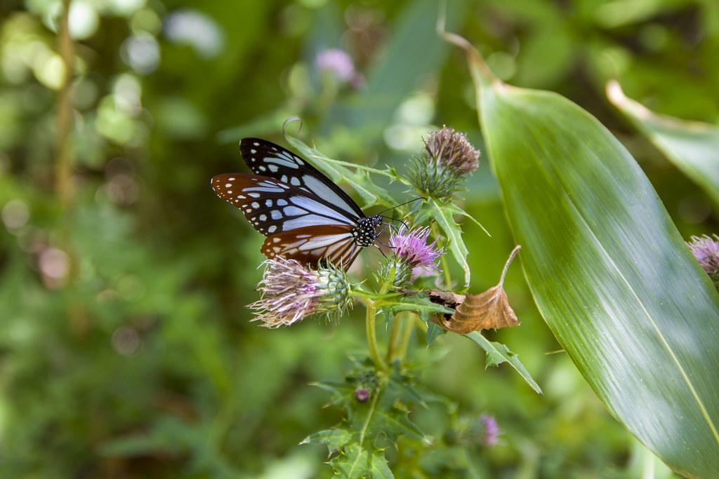 森林步道中的蝴蝶。圖片提供:劉建志。