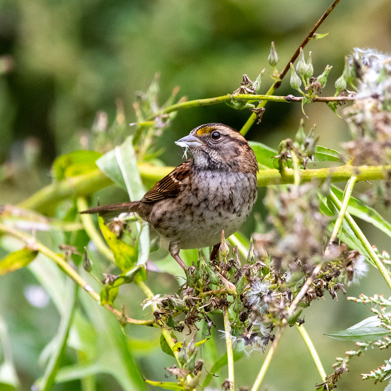 white-throated-sparrow-4462