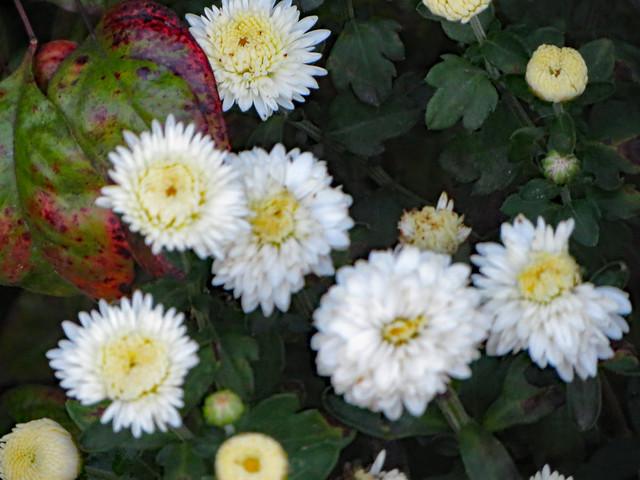 Mum Blossoms.