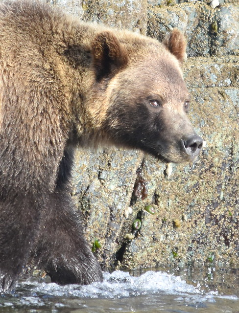 GRIZZLY BEAR,  GIVING ME THE EVIL EYE...ON THE ROCKY SHORES OF KNIGHT INLET,  BC.