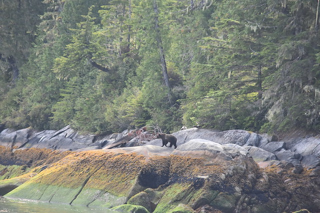 THERE IS A GRIZZLY BEAR IN THIS PHOTO!   KNIGHT'S INLET,  BC.