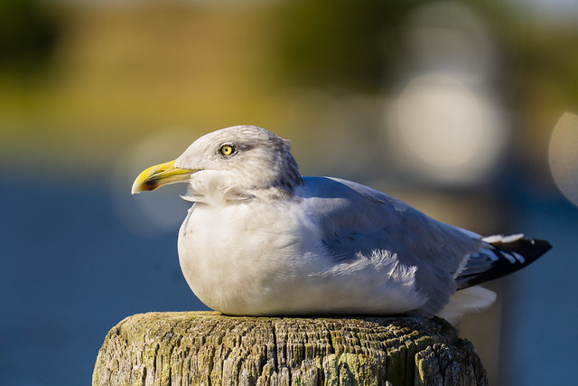 Seagull Basking in the afternoon sun