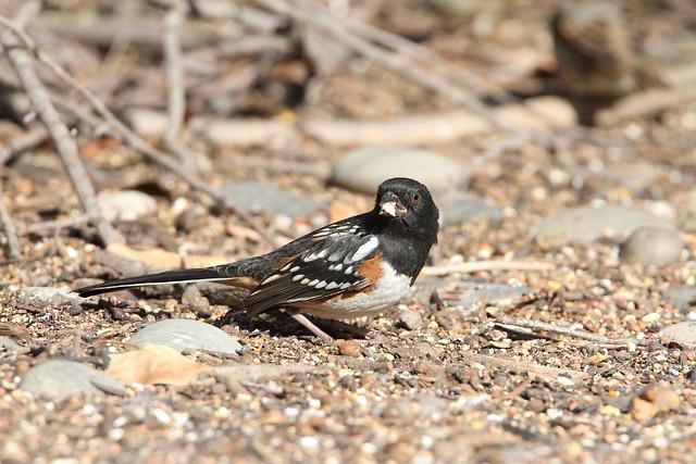 Spotted Towhee, Pipilo maculatus