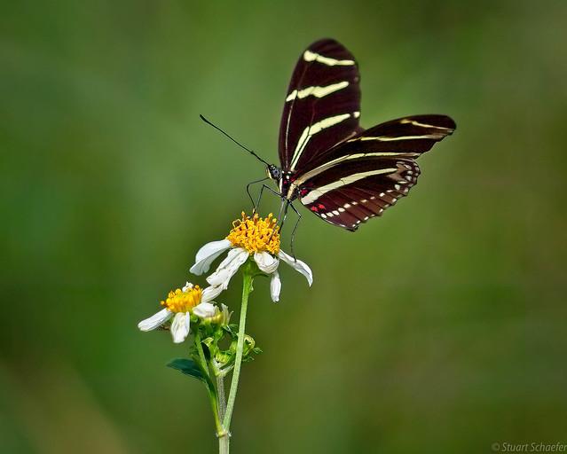 The Zebra Longwing Butterfly