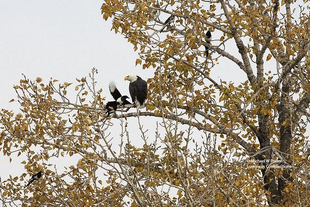 Bald Eagle and several Black-billed Magpie