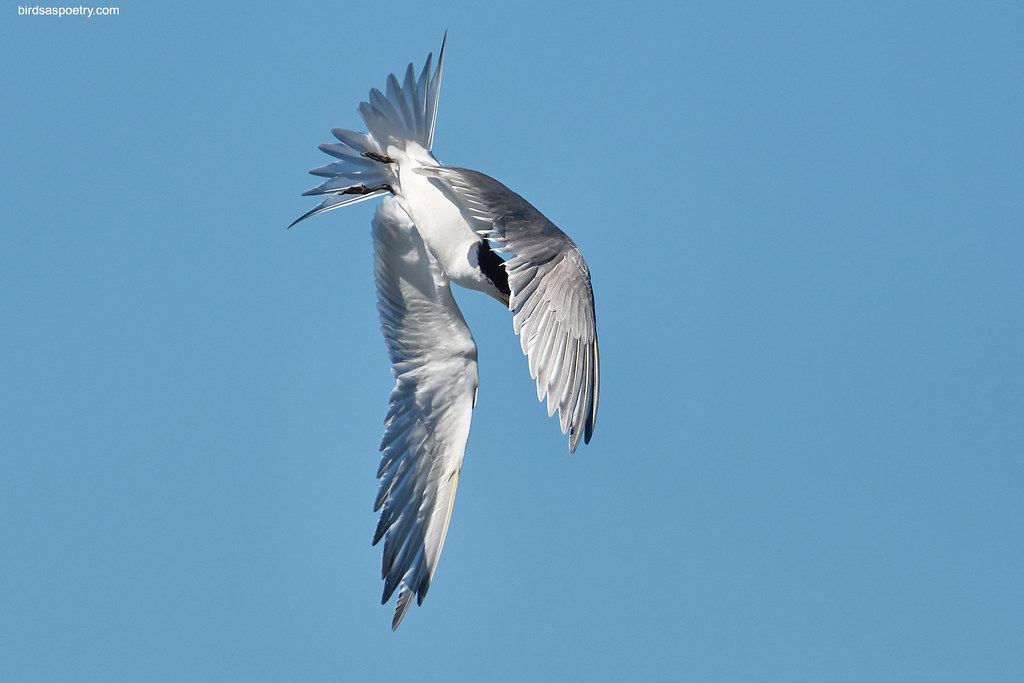Greater Crested Tern: Roll over Dive #01