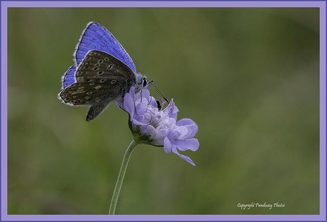 Male Adonis Blue-Polyommatus bellargus.
