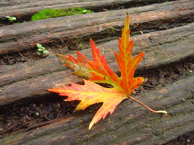 Herbstliches Ahorn-Blatt
