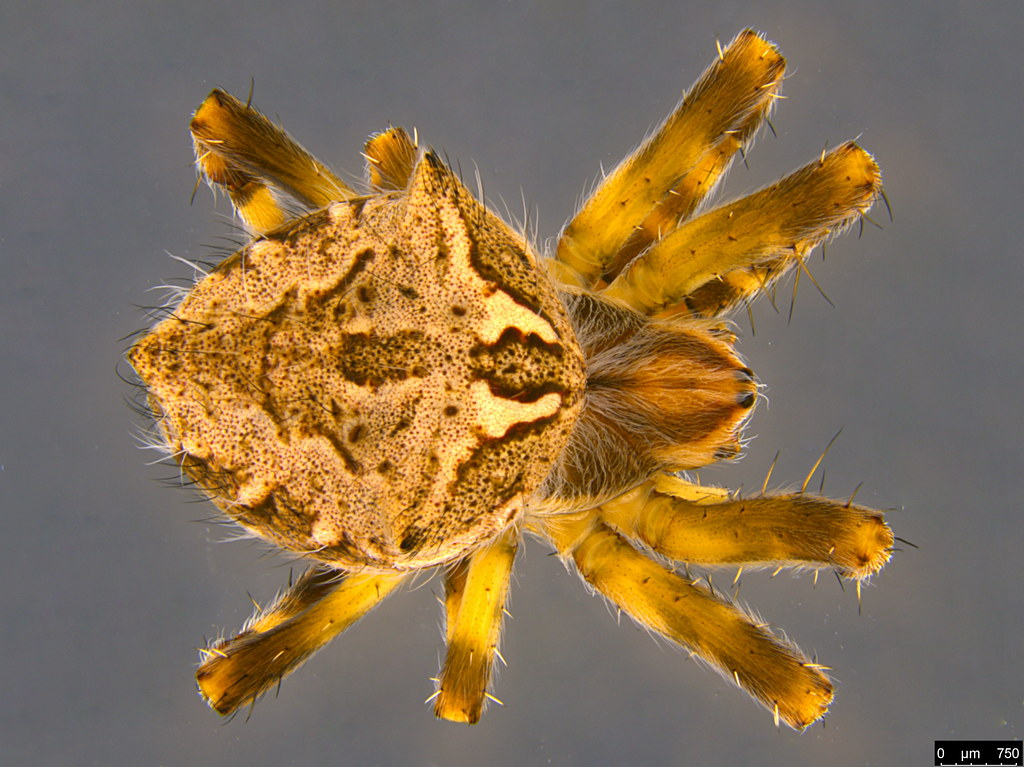 1a - Araneidae sp.