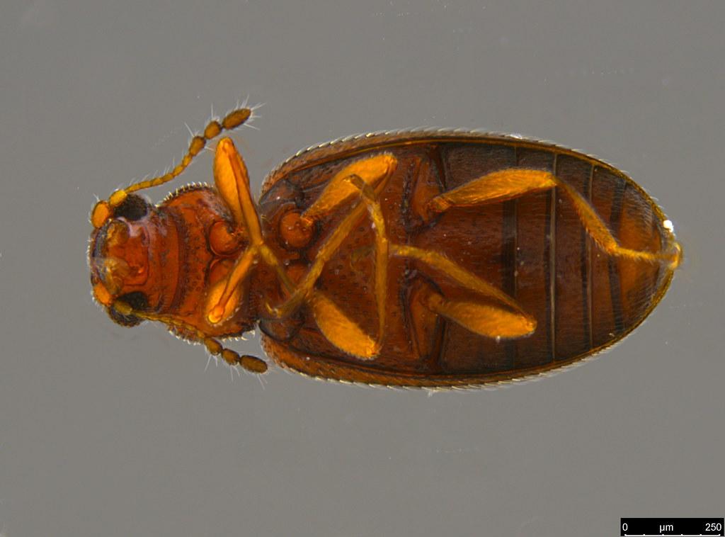 3c - Corticariinae sp.