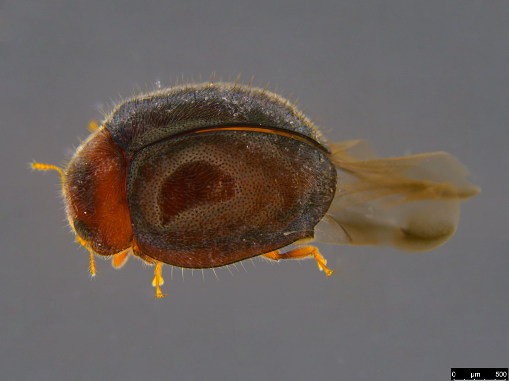 5a - Rhyzobius lophanthae (Blaisdell, 1892)