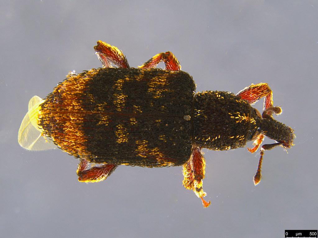 6a - Anorthorhinus pictipes Blackburn, 1890