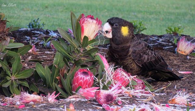 Black Cockatoo Feasting on Protea Flowers