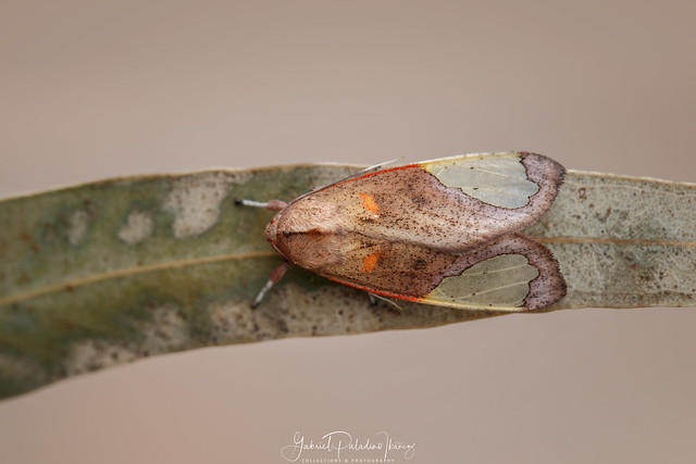 Bertholdia moth