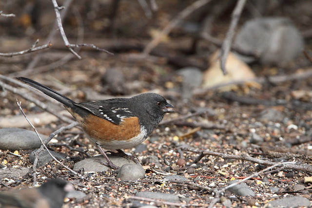 Spotted Towhee, female (Pipilo maculatus)