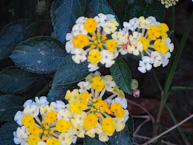 White And Yellow Lantana.