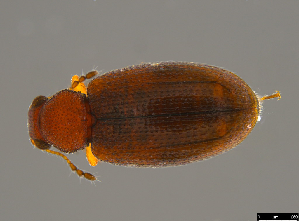 3a - Corticariinae sp.