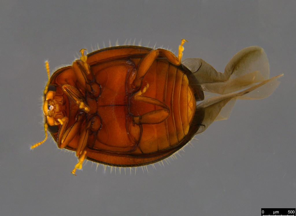 5b - Rhyzobius lophanthae (Blaisdell, 1892)