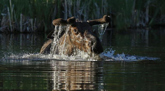 Bull Moose...#34