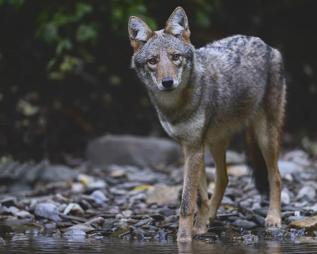Hello Beautiful! Eastern Coyote