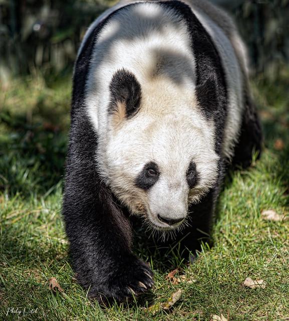 Mister Panda .