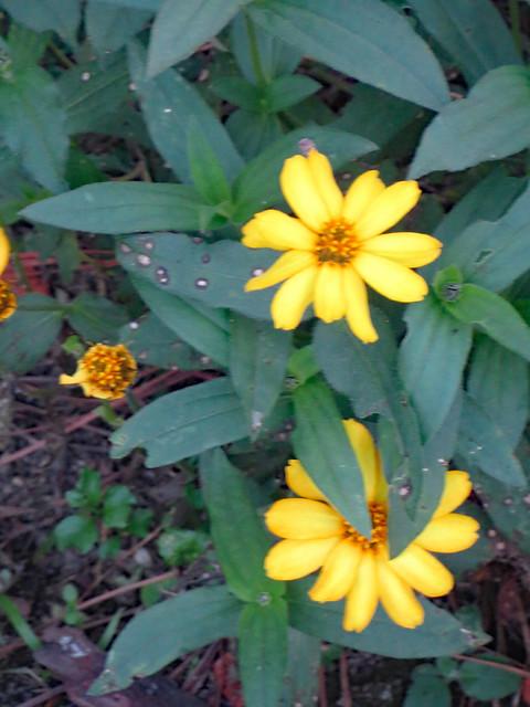 Yellow Zinnia Blossom And Foliage.