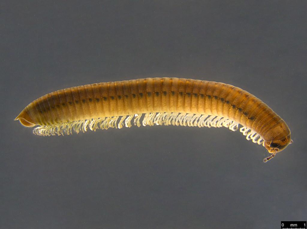 2a - Juloidea sp.