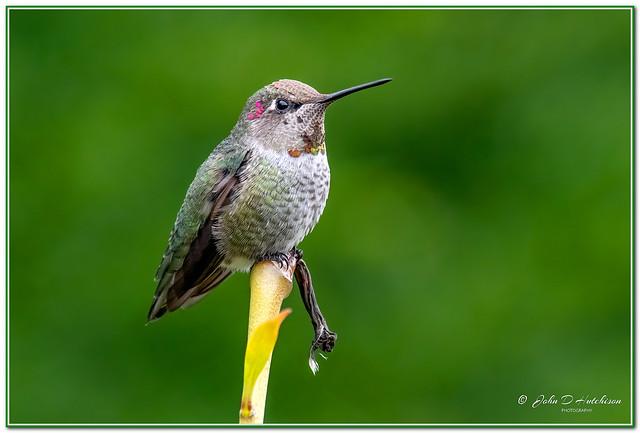 Anna,s Hummingbird