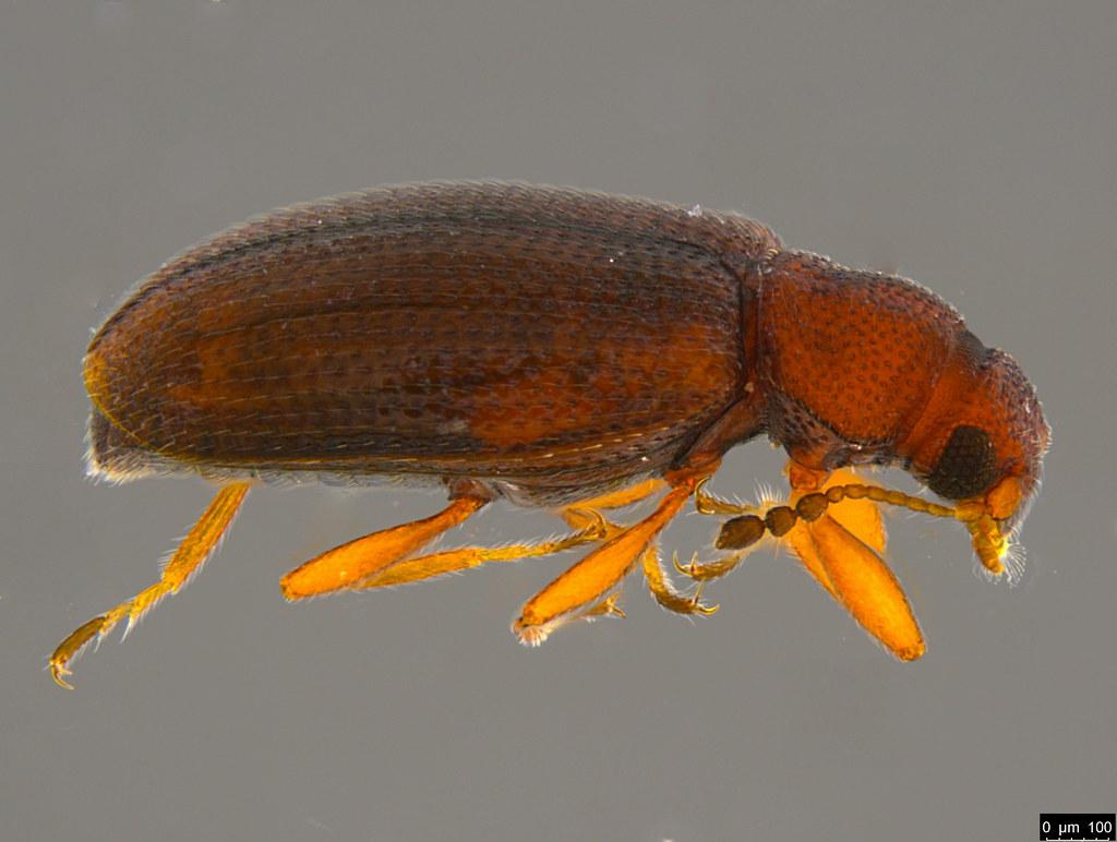 3b - Corticariinae sp.