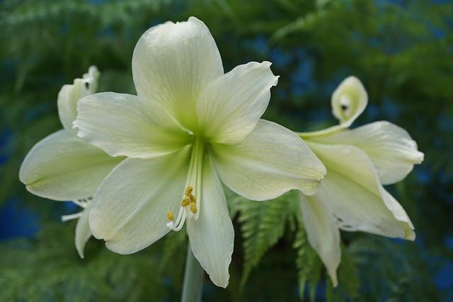 (rare) Hippeastrum hybridum 'Marie Louise' or 'Lemon Lime' at home.