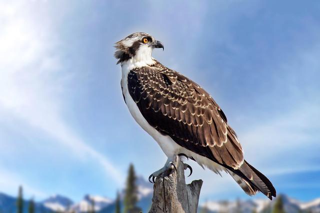 Osprey in Canadian Rockies (Explored)