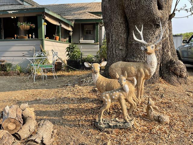 Deer at Serena's house